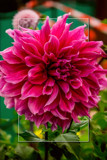 Dahlia Show 30 by corngrowth, photography->flowers gallery