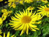 yellow flower by jariahtiainen, Photography->Flowers gallery