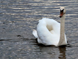 All Swan by braces, Photography->Birds gallery