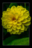 Dahlia Show 36 by corngrowth, photography->flowers gallery
