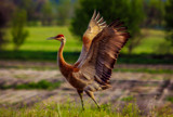 Sandhill Crane by stylo, photography->birds gallery