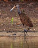 LIMPKIN Aramidae by jeenie11, photography->birds gallery
