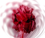 Evil Rose by rvdb, photography->manipulation gallery