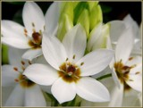 Star of Bethlehem by trixxie17, photography->flowers gallery