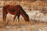 Assateague Pony 2 by Jimbobedsel, photography->animals gallery