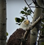 Bald Eagle # 9 by picardroe, photography->birds gallery