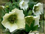 Garden Stroll #3 - Helleborus by LynEve, Photography->Flowers gallery
