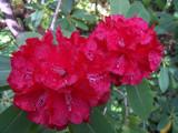Rhodo by Oceansiders, Photography->Flowers gallery