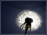 Fleur soleil by noranda, Photography->Flowers gallery