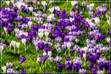 Urban Spring 4 by corngrowth, photography->flowers gallery