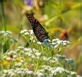 Monarch on the Prairie by trixxie17, photography->butterflies gallery