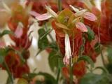 Shrimp Plant by trixxie17, photography->flowers gallery