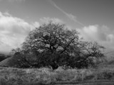 Live Oak by amyyy, Photography->Landscape gallery