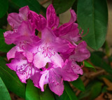 On the Rhodie by phasmid, Photography->Flowers gallery