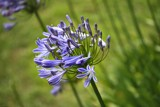 Agapanthus - Flower of Love by LynEve, photography->flowers gallery
