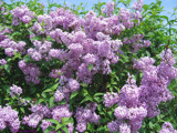 Lilacs In Full Bloom by lilbwb, Photography->Flowers gallery