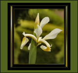 An Iris Deserving of Elegance by verenabloo, Photography->Flowers gallery