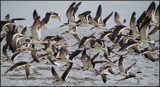 Black Skimmers by allisontaylor, Photography->Birds gallery