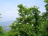 Dog Rose by koca, photography->landscape gallery