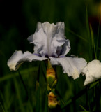 Garden Iris 2016 #2 by tigger3, photography->flowers gallery