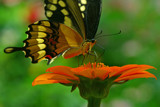 come on spring by tee, Photography->Butterflies gallery