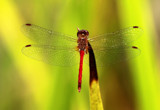 Wings on Red by rahto, photography->insects/spiders gallery