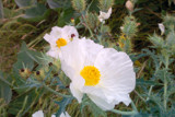 Don't Mess with Texas Poppies by caitsmeow, Photography->Flowers gallery