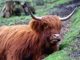 Highland Cow by pom1, Photography->Animals gallery