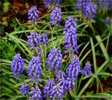 Muscari by trixxie17, photography->flowers gallery
