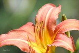 Lily Takes Center Stage by tigger3, photography->flowers gallery
