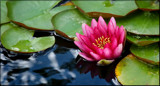 Water Lily Hot Pink by tigger3, photography->flowers gallery
