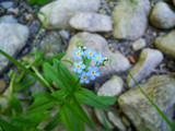Forget me not. by Jay_Underwood, Photography->Flowers gallery