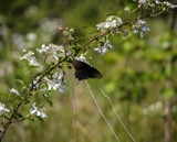 Blackberries and a Black Swallowtail by Pistos, photography->butterflies gallery