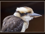 Koo Koo Kookaburra... by fogz, Photography->Birds gallery