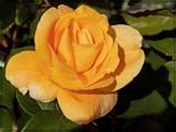 A Yellow Rose for Texas by trixxie17, photography->flowers gallery