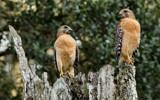 Birds of prey by Paul_Gerritsen, photography->birds gallery