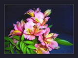 Lily Of The Incas by LynEve, Photography->Flowers gallery