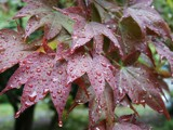 Wet maple leaves by Edward420, photography->nature gallery