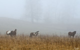Fog Grazers by 0930_23, photography->animals gallery