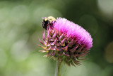 The Bee and the Thistle by Pistos, photography->flowers gallery