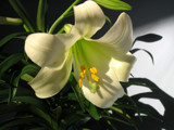 Easter Lily by June, Photography->Flowers gallery