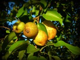 Sunset Pears by Galatea, photography->nature gallery