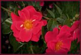 Shy by trixxie17, photography->flowers gallery
