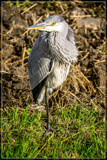 'Acrobatic Heron' by corngrowth, photography->birds gallery