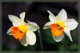 Daffodil Duo by LynEve, photography->flowers gallery