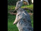 Shoebill Stork by spoton, Photography->Birds gallery