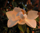 Magnolia Sunrise by allisontaylor, Photography->Flowers gallery