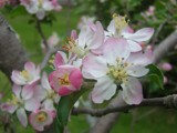 Apple Blossoms by graffitigirl21, photography->flowers gallery