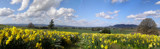 Amity Daffodils by jcferg99, Photography->Landscape gallery