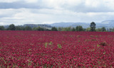 Red Clover Fields Forever ! by verenabloo, Photography->Landscape gallery